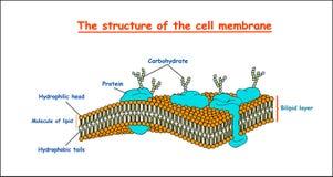 Estructura de la membrana celular en el fondo blanco aislado ejemplo del vector de la educación Foto de archivo libre de regalías