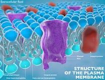 Estructura de la membrana de plasma Imagen de archivo libre de regalías