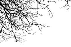 Estructura de la rama del árbol y del fondo blanco de madera de la muerte Imagenes de archivo