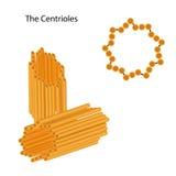Estructura de los centríolos Fotografía de archivo libre de regalías