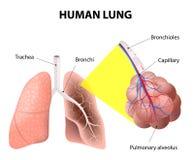 Estructura de los pulmones humanos Anatomía humana Imágenes de archivo libres de regalías