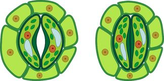 Estructura del complejo stomatal con estoma abierto y cerrado libre illustration