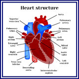 Estructura del corazón El órgano del sistema circulatorio Imagen de archivo libre de regalías