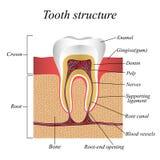 Estructura del diente, cartel anatómico médico de entrenamiento, ejemplo del vector ilustración del vector
