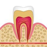 Estructura del diente en el corte transversal a utilizar en los carteles, folletos, le libre illustration