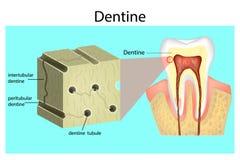 Estructura del esmalte dental ilustración del vector