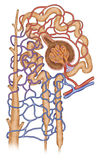 Estructura del nefron Стоковое Фото
