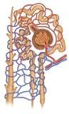 Estructura del nefron royalty-vrije illustratie