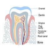 Estructura humana del diente con la descripción Ilustración del vector ilustración del vector
