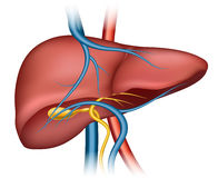 Estructura humana del hígado Imagenes de archivo