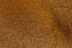 Estructura roja de pelo corto de la piel del gato Fotos de archivo libres de regalías