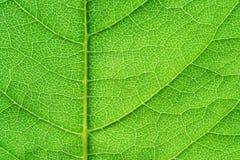 Estructura verde de la hoja Imagen de archivo