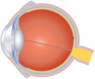 Estructuras del ojo humano Imágenes de archivo libres de regalías