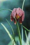 Estructuras rojas en las hojas de esta flor Fotos de archivo