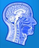 Estrutura da cabeça humana Fotografia de Stock