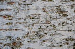 Estrutura da casca de vidoeiro - pele da árvore Fotos de Stock