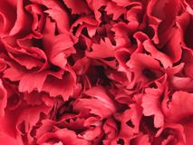 Estrutura da flor do cravo Imagens de Stock Royalty Free