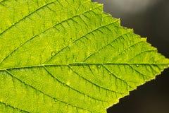 A estrutura da folha da planta decorativa está na luz da reunião Foto de Stock