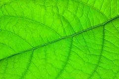 Estrutura da folha verde imagem de stock