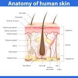 Estrutura da pele humana, ilustração do vetor Fotos de Stock
