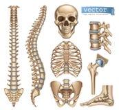 Estrutura de esqueleto humana Crânio, espinha, caixa torácica, pelve, junções grupo do ícone do vetor 3d ilustração stock