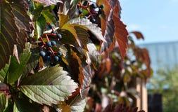 Estrutura de madeira com as folhas vermelhas de uvas selvagens fotos de stock royalty free