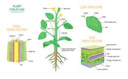 A estrutura de planta e a biologia botânica do seção transversal etiquetaram a coleção dos diagramas ilustração royalty free