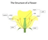 Estrutura de uma flor ilustração stock