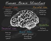 Estrutura do cérebro humano da biologia no quadro ilustração do vetor