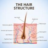 A estrutura do cabelo ilustração royalty free
