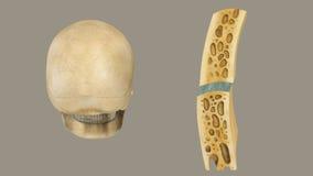 Estrutura do osso do crânio ilustração royalty free
