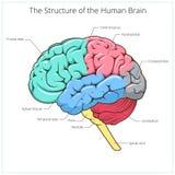 Estrutura do vetor do diagrama esquemático do cérebro humano ilustração do vetor