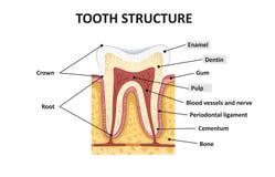 Estrutura dos dentes humanos ilustração do vetor