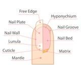 Estrutura e anatomia do prego humano fotografia de stock royalty free