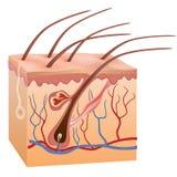 Estrutura humana da pele e do cabelo. Ilustração do vetor. Fotografia de Stock