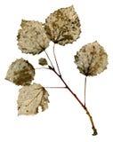 Estrutura seca da folha Foto de Stock