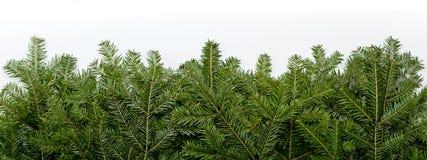 Estrutura verde do Natal com o espaço da cópia isolado na parte traseira do branco Fotografia de Stock