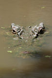 Estuarine Crocodile (Crocodylus porosus) Stock Photo