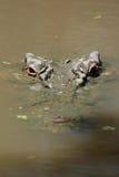 Estuarine Crocodile (Crocodylus porosus). Or Saltwater Crocodile partly submerged in the water in Australia Stock Photo