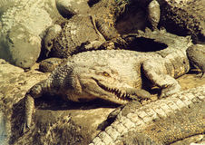 estuarine krokodil Royaltyfria Bilder