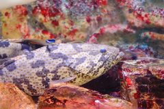 Estuary grouper Stock Photo