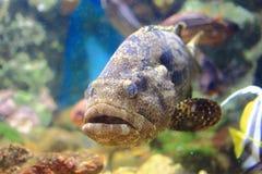 Estuary grouper Stock Photos