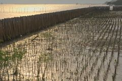 An estuary project to reclaim nature by blocking off areas to protect them from the tides, and planting mangrove species inland. An estuary project to reclaim stock images