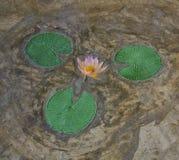 Estuco Lotus Fotografía de archivo