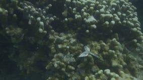 Estudiando corales bajo el agua metrajes