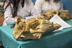 Estudiantes en sala de clase y scull animal antiguo en la tabla, cierre para arriba Científico de la escuela veterinaria o de la  imagen de archivo libre de regalías