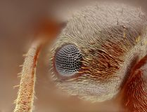Estudio agudo y detallado extremo de la cabeza de la hormiga del formica   foto de archivo