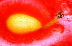 Estudio agudo y detallado extremo de la semilla miniatura de la fresa tomada con el objetivo del microscopio apilado de muchos ti foto de archivo libre de regalías