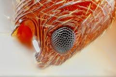 Estudio agudo y detallado extremo del ojo de la hormiga de Myrmica   Imágenes de archivo libres de regalías