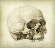 Estudio de cráneo ilustración del vector